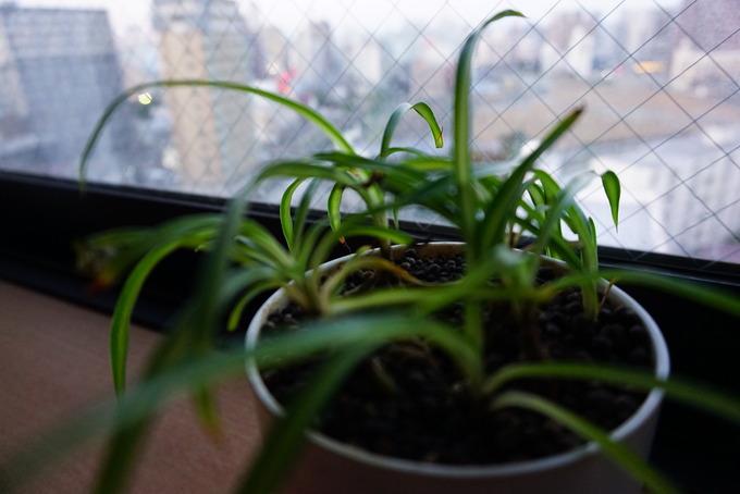ソニーα5100の作例紹介「観葉植物」